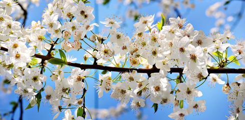Blooming cherry on a background of blue sky.The stylized illustration. Soft focus. Wide photo.