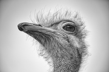 Poster Struisvogel CLOSE-UP OF BIRD