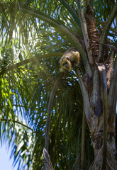 Golden howler monkey shouting from palm tree