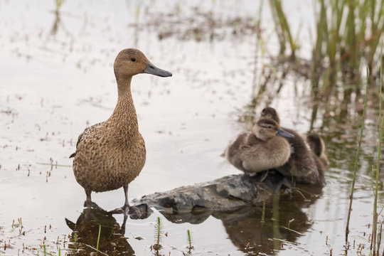 A pintail duck female stands in a shallow pond, three ducklings are sitting in the background
