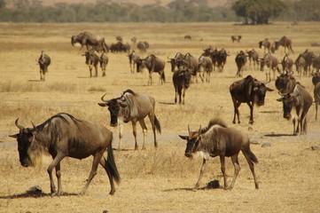 Obraz Wildebeests On Landscape - fototapety do salonu