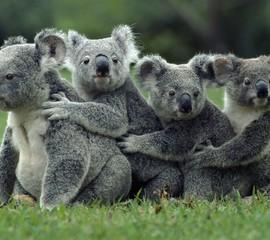Koalas On Field