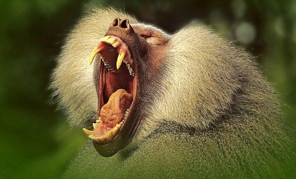 CLOSE-UP OF a baboon yawning