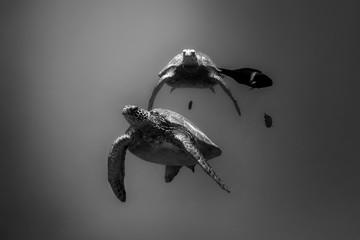 Black and white photo of Sea Turtles, Oahu Hawaii
