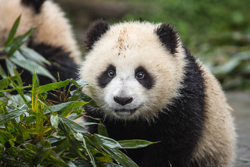 Portrait of giant panda, Ailuropoda melanoleuca, approximately 6-8 months old, on a wet day, next to bamboo leaves.