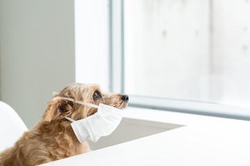 マスクをしたノーフォークテリア犬