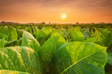 View of tobacco plant in the field at Sukhothai province, Northern of Thailand Fotoväggar