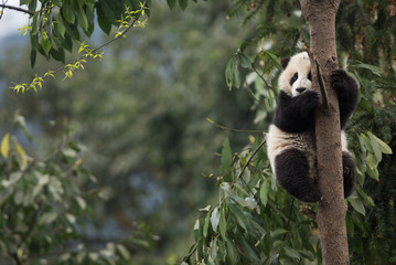 Giant panda, Ailuropoda melanoleuca, approximately 6-8 months old, clutching on to a tree high above the ground.
