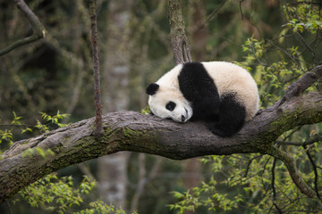 Wall Murals Panda Giant panda, Ailuropoda melanoleuca, approximately 6-8 months old, resting on a tree branch high in the forest canopy.