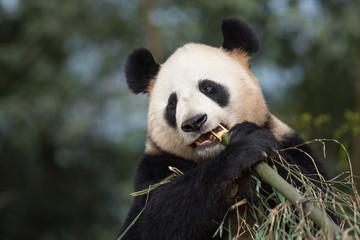 Fotobehang Panda Portrait of a giant panda, Ailuropoda melanoleuca, eating bamboo.