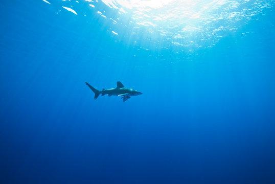Oceanic White Tip Shark Swimming In Sea
