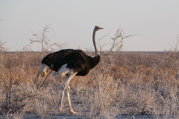 Ostrich At Desert Against Clear Sky