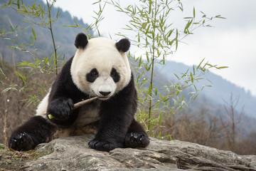 Zelfklevend Fotobehang Panda Giant panda, Ailuropoda melanoleuca, sitting upright on rock in the mountains, eating bamboo.