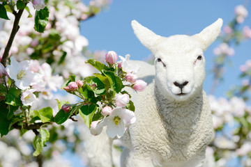 Cute white small sheep lamb standing between blooming apple tree blossoms
