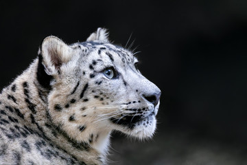 Poster Luipaard one of most beautiful big cat, snow leopard - Irbis, Uncia uncia
