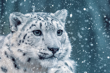 Foto auf Leinwand Leopard one of most beautiful big cat, snow leopard - Irbis, Uncia uncia