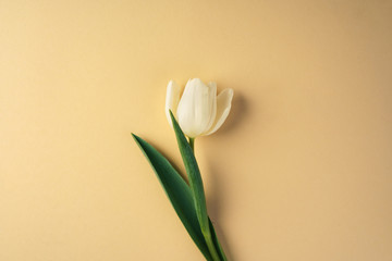 Single white tulip on beige background, top view
