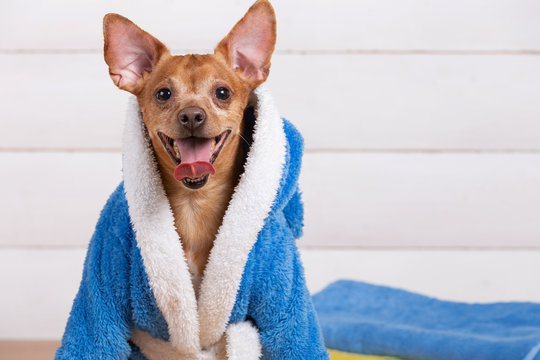 portrait of a small dog in a blue terry bathrobe, smiling, opening his mouth, spa procedure and health concept
