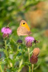 Meadow brown (Maniola jurtina) on a thistle on Juist, East Frisian Islands, Germany.