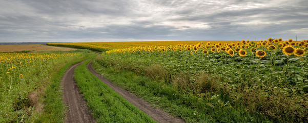 Wall Mural - The country road through the yellow sunflower's field. Summer landscape: beautiful field yellow sunflowers. Panoramic banner.