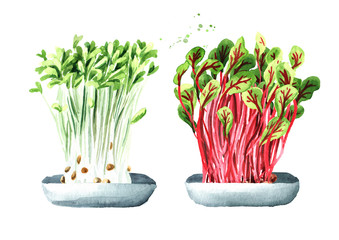 Microgreens set. Vegan and healthy eating concept.Sprouting Microgreen. Seed Germination. Hand drawn watercolor illustration, isolated on white background