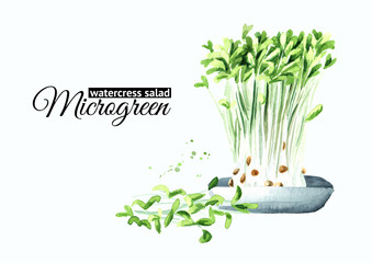 Microgreens watercress salad with green leaves. Vegan and healthy eating concept.Sprouting Microgreen. Seed Germination. Hand drawn watercolor illustration, isolated on white background