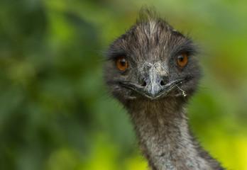 Poster Struisvogel Close-Up Portrait Of Ostrich