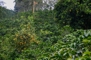coffee plantation with orange trees used for shadow. Rural coffee lift in the back