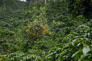coffee plantation with orange tree. Rural coffee lift in the back