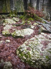 mossy boulders, anchored tree roots in winter for anchored nature