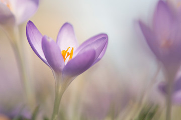 Foto op Plexiglas Krokussen Blooming purple crocus flowers in a soft focus on a sunny spring day