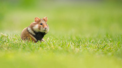 Adorable black bellied hamster standing upright in a green grass field