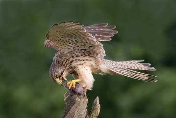 Close-Up Of Falcon Eating Dead Rat On Branch Fotomurales