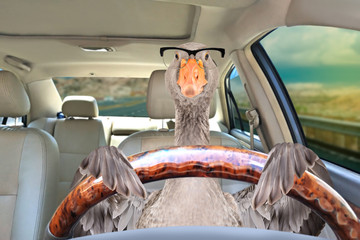 Portrait of a goose with glasses driving a car Fototapete