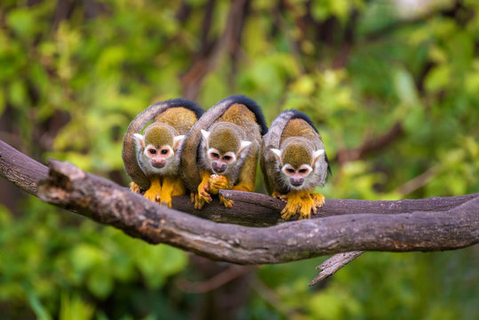 Three common squirrel monkeys sitting on a tree branch