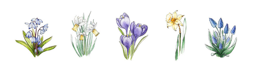 Spring daffodil, crocus, muscari, bluebell flower watercolor image set. Hand drawn collection of beautiful fresh season flowers. Blooming plant elements isolated on white background.