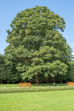 Acer campestre Feldahorn in einem Park