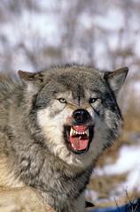 Photo sur Toile Loup LOUP DU CANADA canis lupus occidentalis