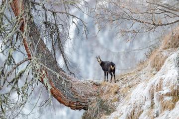 Gämse in den Bergen Tirols