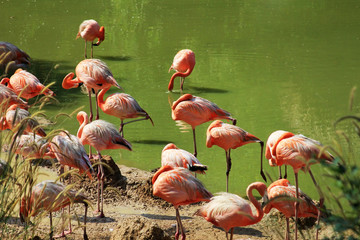 Flock of flamingos in water