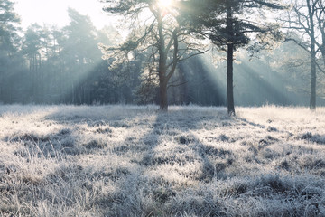 sunbeams over frosted pine tree on meadow