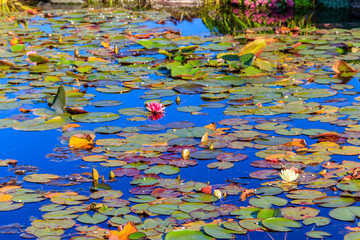 Stores à enrouleur Nénuphars Beautiful garden pond with blooming white and pink water lilies