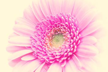 In de dag Gerbera closeup of a pink gerbera daisy
