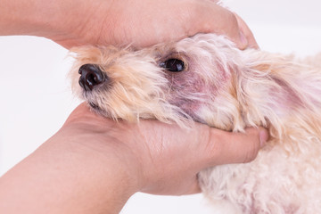 Veterinarian inspecting dog with skin irritation with yeast, fungal infection