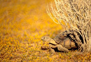 Desert Tortoise in yellow wildflowers, Mojave Desert, California