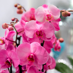 Acrylic Prints Orchid Orchidee, Orchideenzweige, pink, Zimmerpflanze