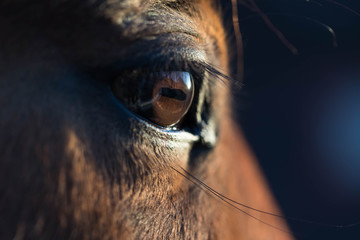 Photo sur cadre textile Chevaux Brown horse eye close-up. Long dark eyelashes. Falling sunlight passes through the pupil. Dark background