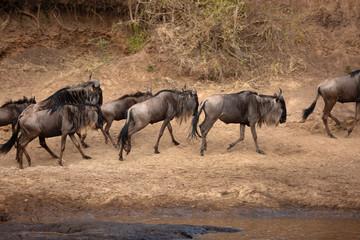 Wildebeests  on the bank of Mara river, Kenya Wall mural
