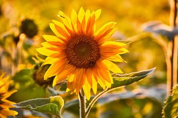 Poster de jardin Tournesol sonnenblume