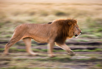 Lion  walking in the morning, a panning technique at Masai Mara Wall mural